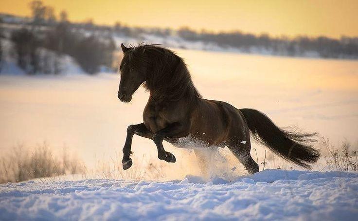 Le Pure Race Espagnole - Un Pure Race Espagnol au galop dans la neige