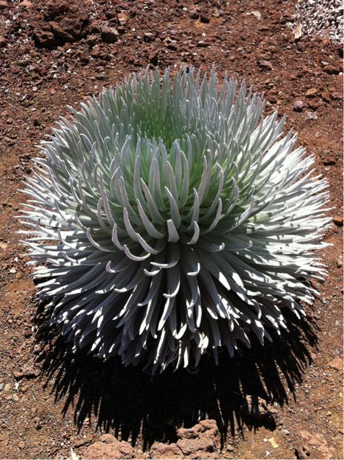 Haleakala Silversword, extremely rare. It is found only within a 250 acre area on Mount Haleakala, on the island of Maui in Hawaii