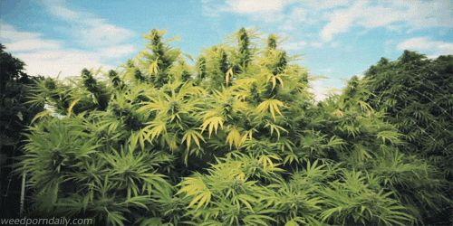marijuana plants stonerdays gif