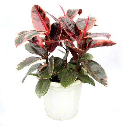 1000 id es sur le th me ficus elastica sur pinterest ficus plantes d 39 i - Depollution par les plantes ...