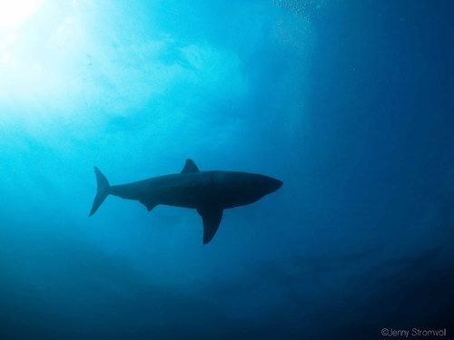 Great white shark in Ponta do Ouro Mozambique. Photo taken by Adrian Slack.