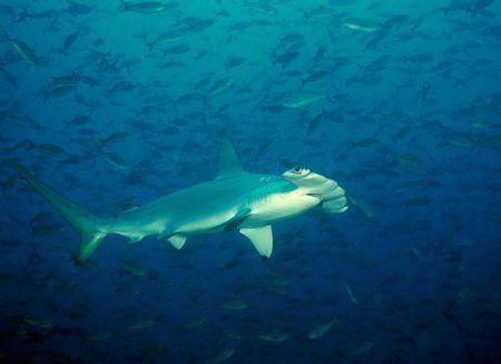 Sharks: Hammerhead Shark.