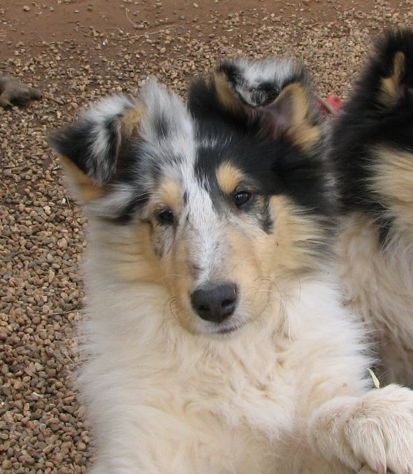 Collie puppies are the cutest- Mist and Jocks pups could well turn out with these colours?