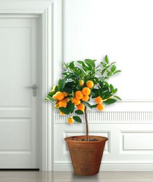 Clementine Tree Citrus Trees Pinterest Fast Growing And Fruit