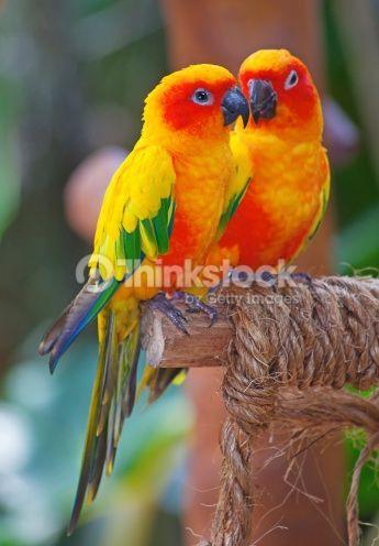 Stock Photo : Aratinga Solstitialis