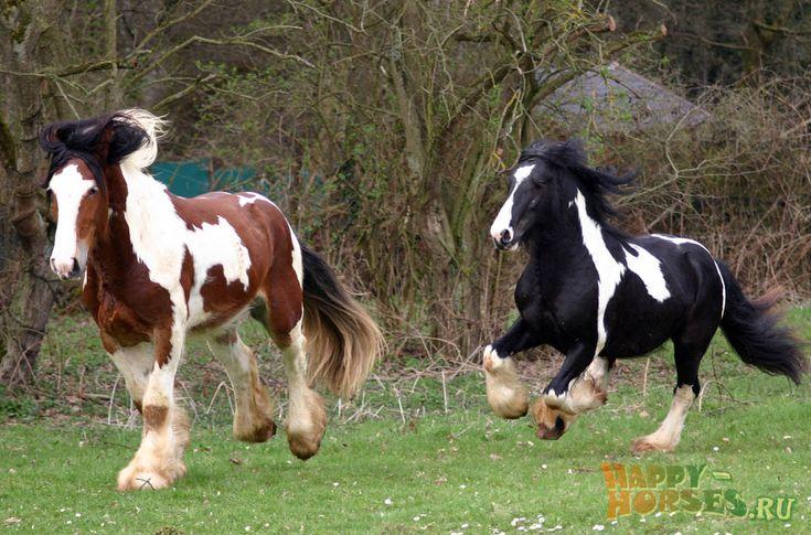 Лошади породы Ирландский Коб  Официальное название породы – цыганская упряжная. «Тинкер» — название, пользующееся популярностью для представителей данной породы в Голландии и Германии. В Ирландии же, на родине цыганских упряжных лошадей, само слово «тинкер» считается оскорбительным – так пренебрежительно называют цыган. Поэтому, на территории Ирландии порода известна, как ирландский коб. В переводе с английского языка, «коб» — невысокая, массивная, крепко сбитая лошадь.
