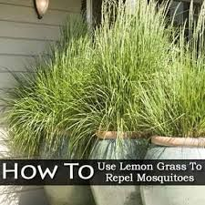 Lemon grass planters...repels mosquitoes and looks good