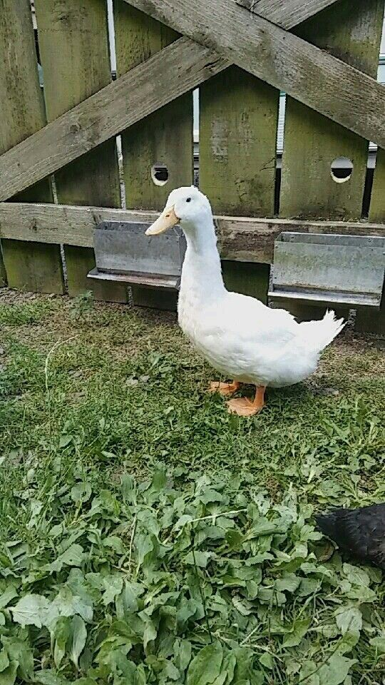 Bessie the Peking Duck 😊
