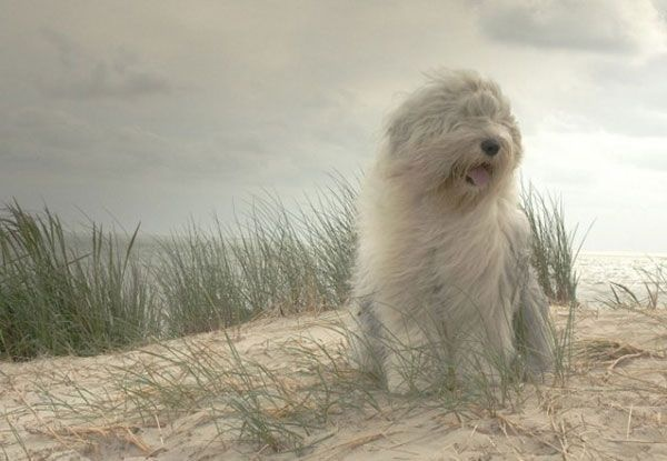 Sheepdog at the beach