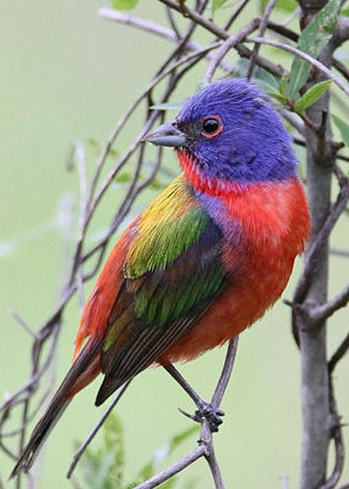 Painted Bunting - a very special bird to me.  I've spotted several.