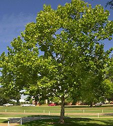 Sycamore « Southern Charm Nursery..one of the fastest growing trees in florida..provides shade in just a couple of seasons..$75 for 8'- 10' in 15 gallon pot