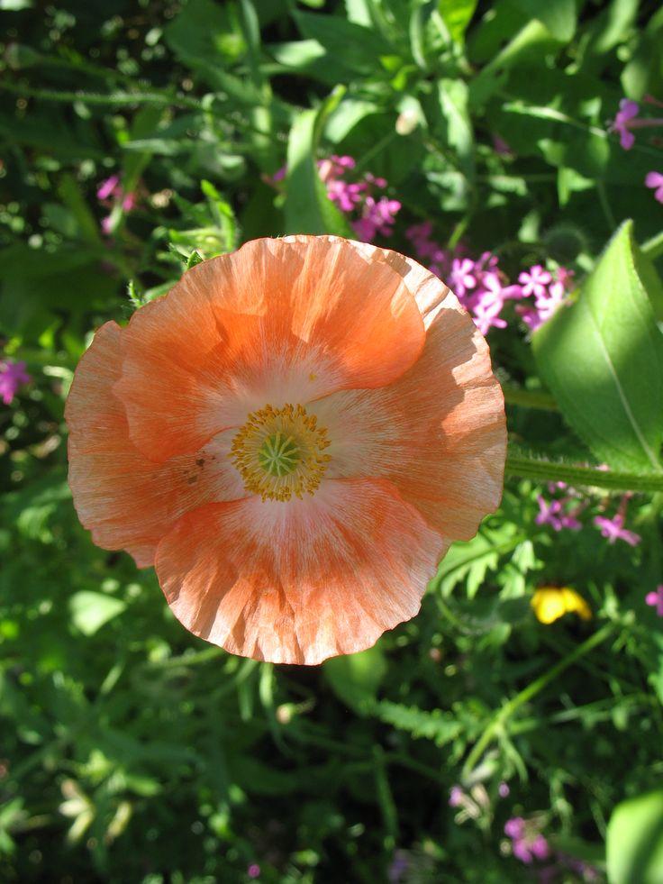 Coquelicot orange pâle