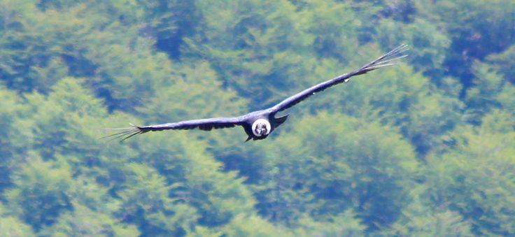 Cóndor en vuelo. Tomada en Laguna del Huemul, en las cercanías de Las Trancas, Chillán. Foto de Daniel Lagos Abello.