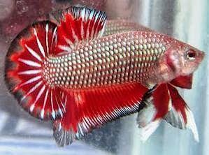 Jual berbagai jenis ikan hias cupang / ikan emas