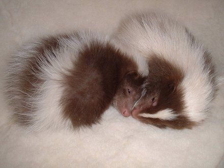 Baby skunks. i dont like skunks...but....WHO CARES!these things are adorbs!