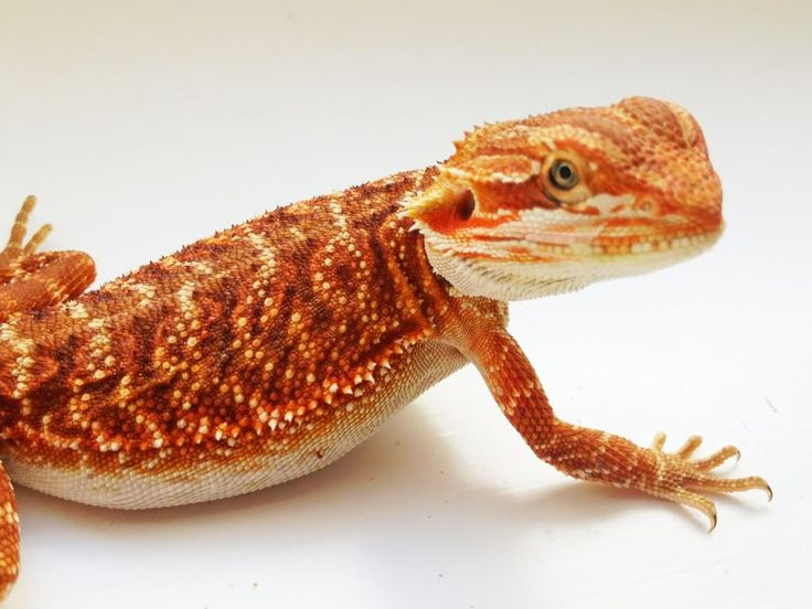 how to tell what color a bearded dragon will be