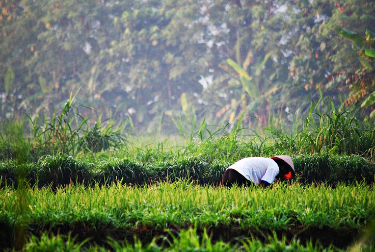 A Farmer, working on his fields.. Yogyakarta, Indonesia