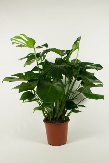 17 best ideas about philodendron monstera on pinterest for Plante monstera