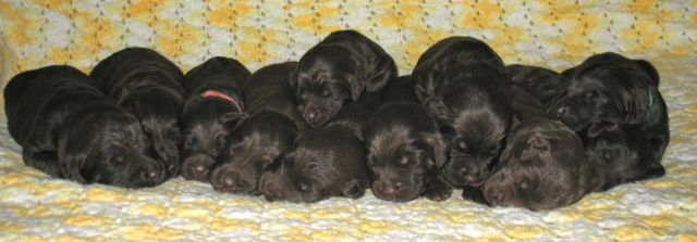 Southern Charm Labradoodles - American and Australian Labradoodle puppy Breeder, American and Australian Labradoodle puppies For Sale in Georgia, Australian and American Labradoodle Dog Breeders Georgia - index