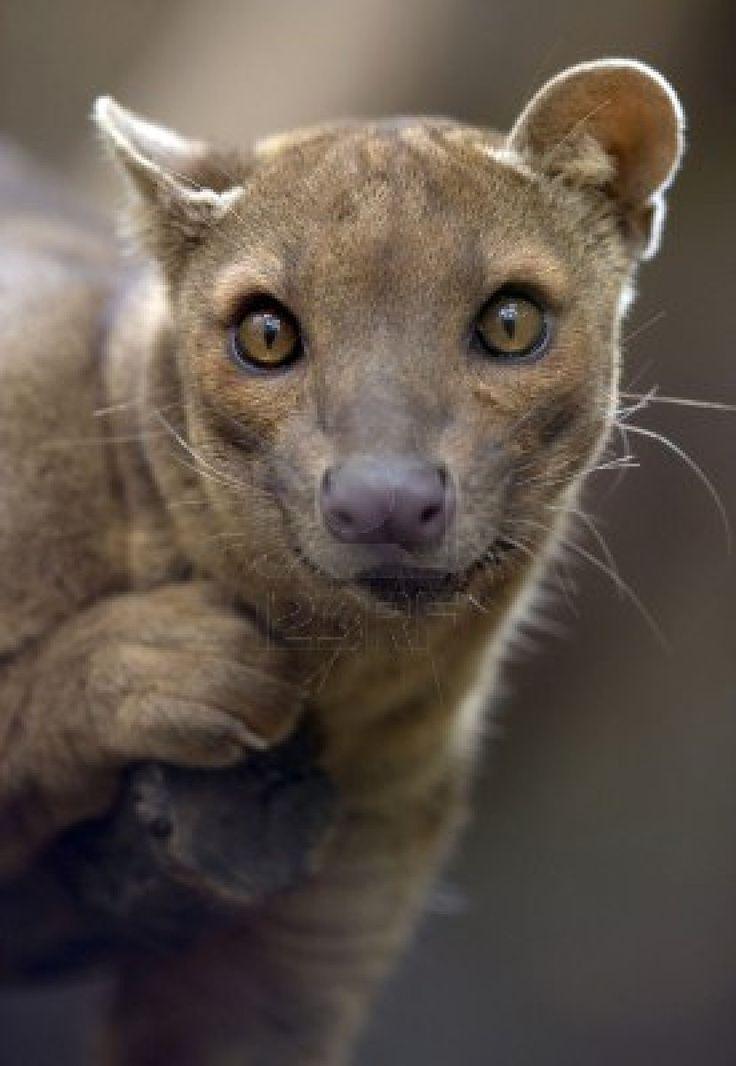 african fossa hunting cat