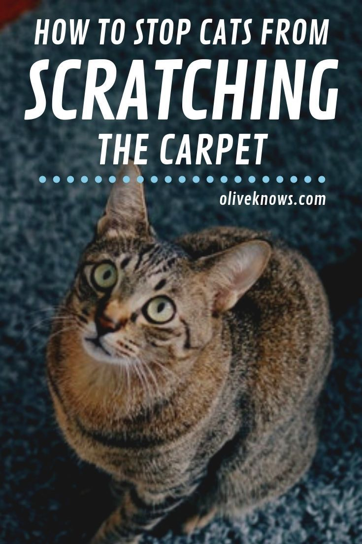 How To Stop Cats From Scratching The Carpet Oliveknows Cat Training Cats Cat Safety