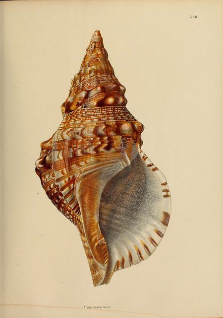 vintage shell illustration.