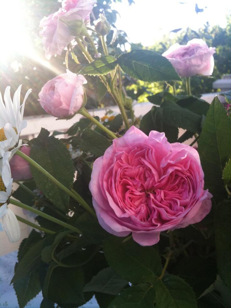 11 best roses images on pinterest climbing roses garden. Black Bedroom Furniture Sets. Home Design Ideas