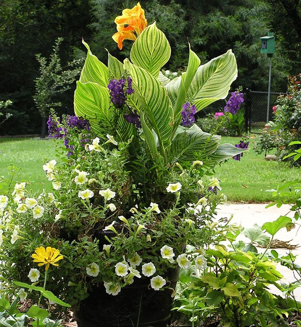 """Tropicanna Gold as """"thriller"""", purple Angelonia as """"filler"""" and trailing pansies as """"spiller"""