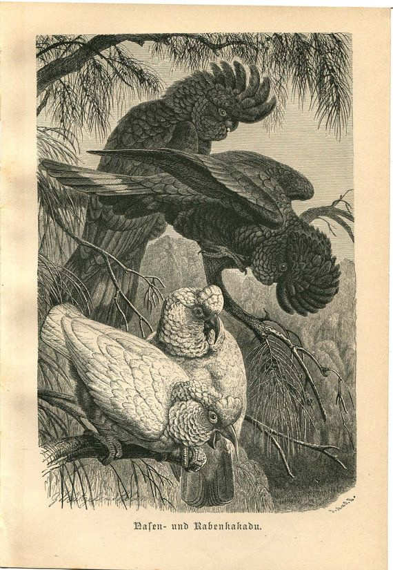 Cockatoos Antique Engraving Brehm Red Tailed Black Cockatoo and Long-billed Cockatoo