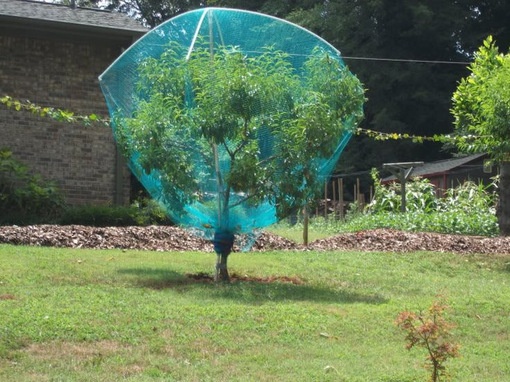 netting around peach tree to keep squirrels out | Peach ...