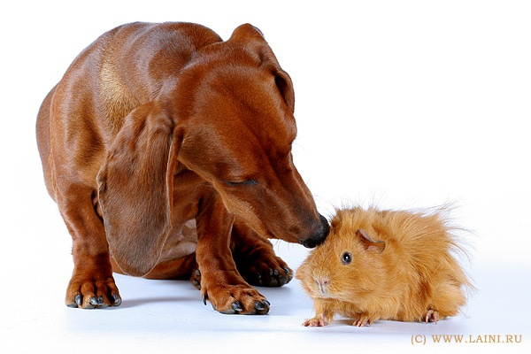 Little buddie: Chee Puffbut, Little Pigs, Cheese Puff, Pet, Hairy Potatoes, Chee Puff But, Animal, Dachshund Doxi, Guinea Pigs
