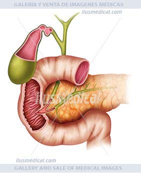 Ilustración del conjunto de páncreas, vesícula biliar y duodeno. El páncreas regular el metabolismo de los azúcares con la ..