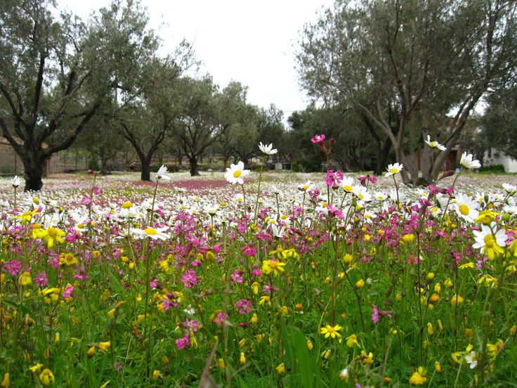 TRAVEL'IN GREECE | Spring Flowers in Kambos (between Eresos and Skala Eresou) on #Lesvos, North Aegean, #Greece, #travelingreece
