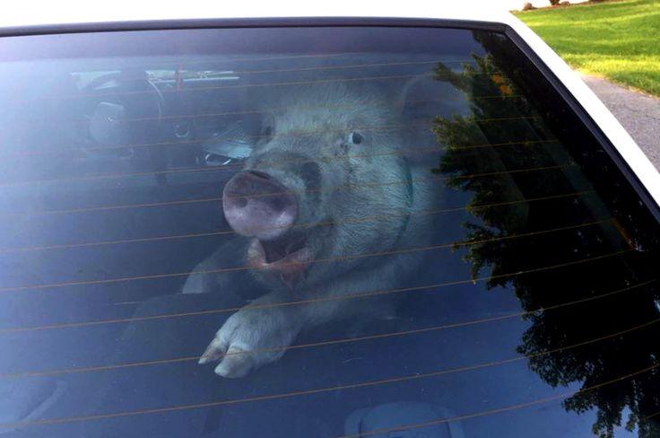 Foto proporcionada por el Departamento de Policía del municipio de Shelby que muestra un cerdo en el asiento trasero de un vehículo de la policía en los suburbios de Detroit. Un ama de casa dijo que estaba trabajando en su jardín cuando el cerdo comenzó  a persiguirla en el patio para luego distraerse con una bola decorativa. La Policía logró controlar el animal y entregarlo a su dueño debiendo lamentar el lío dejado por el cerdo dentro del vehículo. (Deptartment Policía Shelby Township vía…