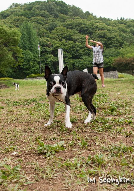 Boston Terrier (보스턴 테리어) There is only one American