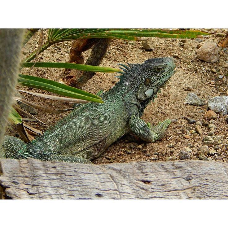 Repost from Instagram ! #WeLike ! #Madinina by @kta_lyna_ Paseo paseo en el zoo   #martinique #caraïbes #caribe #westindies #caribean #antilles #antillas #iguane #iguana #vert #verde #green #nature #natura #ig_martinique #ig_caribbean #martinik_pictures #westindies_nature #westindies_pictures #nikon #ig_photooftheday http://ift.tt/1SAfQ0f