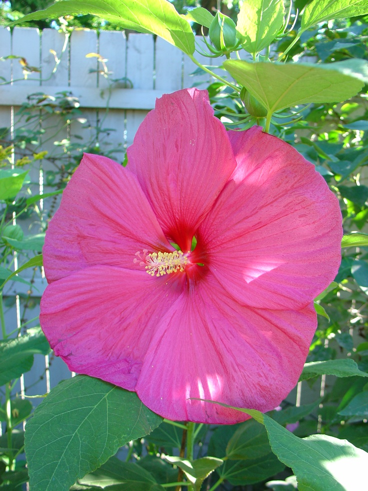 tag pink hibiscus flower - photo #34