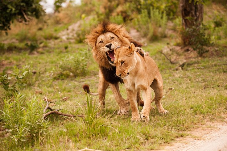 Lions in Kanana concession