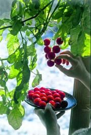 Indoor Tomato #Plant Ideas