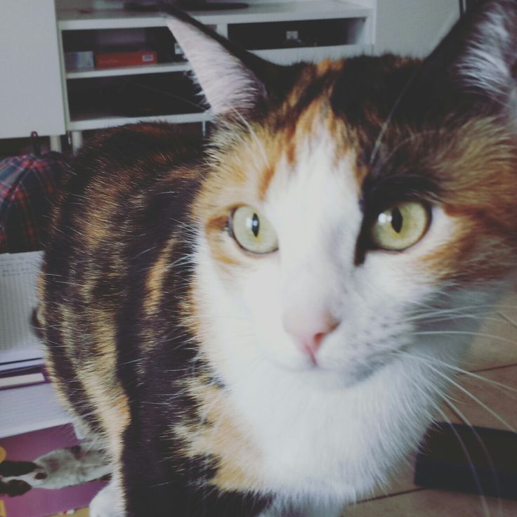 Iris #closeup #cat #calicot
