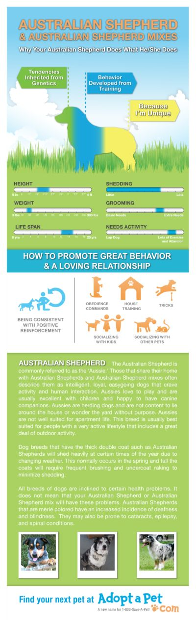 Everything you ever wanted to know about Australian Shepherd & Australian Shepherd mixes! www.adoptapet.com