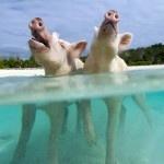 L'île aux cochons ou Big Major Cay, aux Bahamas.  Sur cette île, des cochons ont été introduits par des marins de passage qui pensaient qu'ils feraient une bonne source de nourriture. Cependant, les marins ne sont jamais revenus et maintenant tous les porcs vivent par et pour eux-mêmes avec l'aide des plaisanciers.