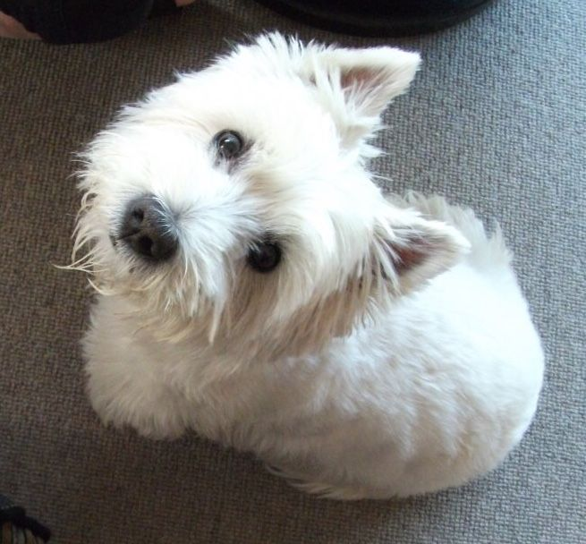 My Beautiful Westie Basil Westie Dogs West Highland Terrier