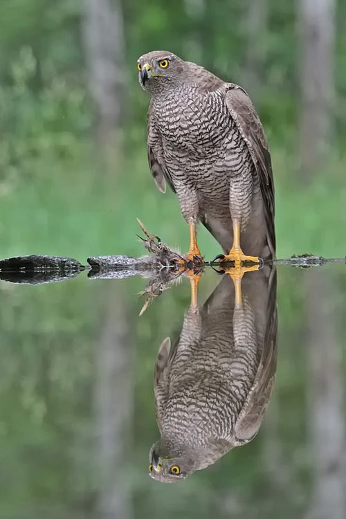 **Sparrowhawk Watch its movements to pass between tree limbs when it is in pursuit.  It can teach you things about passing the opponent's limbs.