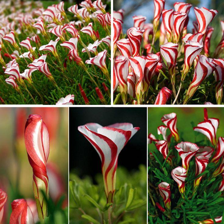 winter - Oxalis Versicolor Flowers