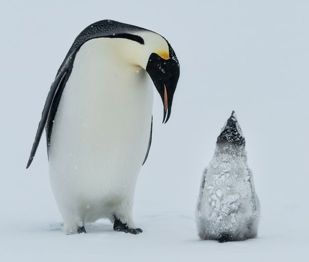 1157 best Emperor Penguin images on Pinterest