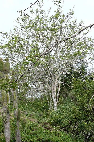Palo Santo Tree ~ Ecuador ~ Close to equatorial line where Sun  Moon have powerful influence. A rich history; utilized by indigenous cultures for its Purifying Power