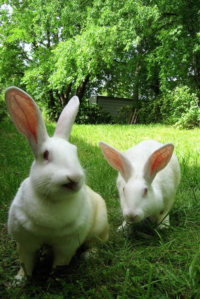 We had tons of rabbits while in Campo.  White, black, and palomino New Zelands, and also Californians.  Here in Washington we have Red New Zelands.  Looking to add some white ones as well