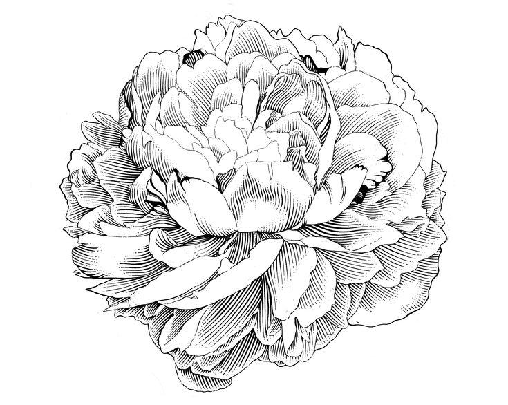 Peony Engraving Illustration by jrb0280.deviantart.com on @deviantART