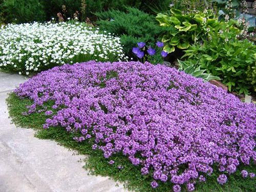 Почвопокровные растения. Обсуждение на LiveInternet - Российский Сервис Онлайн-Дневников